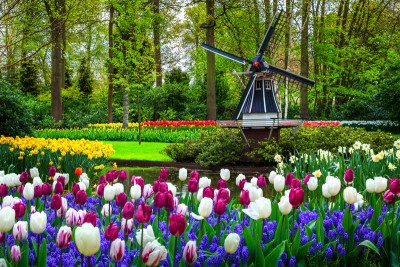 A image of the tulips and windmill in Keukenhof Gardens - see this is you visit Keukenhof 2021