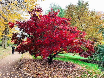 A beautiful red tree at Savill Garden - see this on your day trip to Windsor