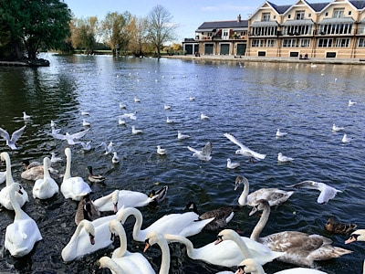 Swans and other birds on the river in Windsor