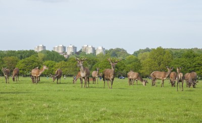Deer in Richmond Park with high rise buildings in the background